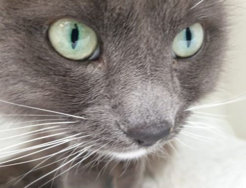 Hyperthyroid in Focus on Cats